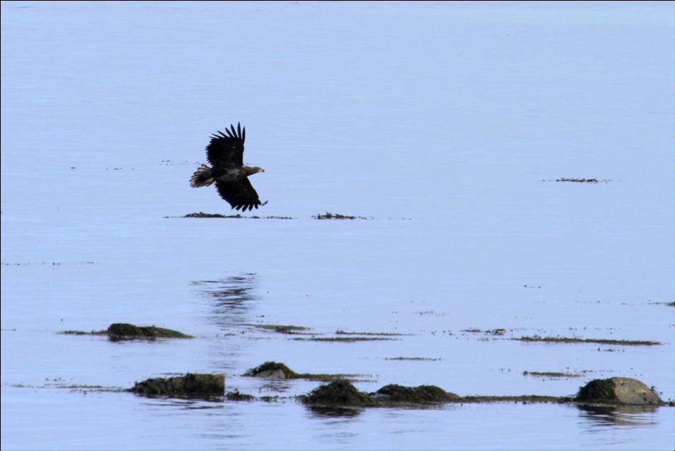 Pygargue à queue blanche en pêche